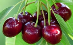 заготовка вишни